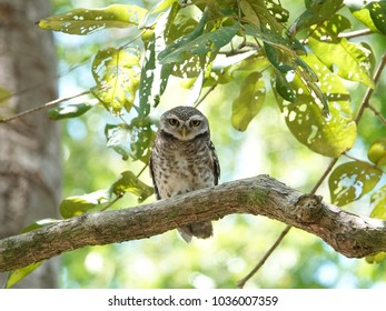 Spotted owlet perched on a tree branch with lush green foliage background in tropical jungle. Adorable owl resting in a sunny day.