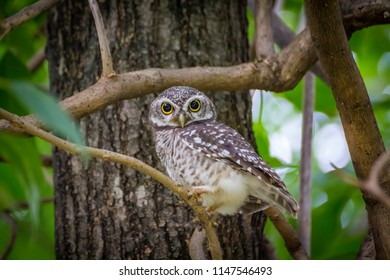 Spotted owlet perched on a tree branch with green background in the park. / Spotted Owlet in the garden.
