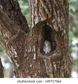 A spotted owlet perching on a tree hole