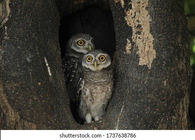 The Spotted Owlet is a small owl with a round head, yellow eyes and prominent white eyebrows. It is also known as the Spotted Little Owl. This is a baby Spotted Little Owl.