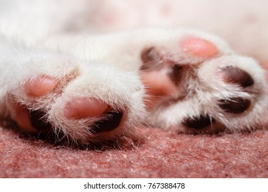 Spotted Paws Of Adorable White Kitten Close-Up
