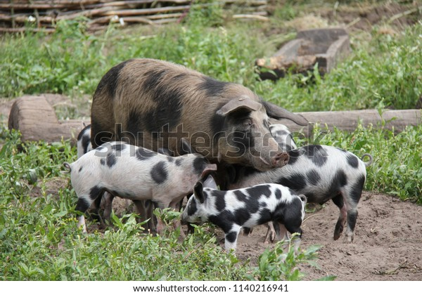 Spotted pig with piglets.
