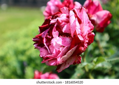Spotted pink and red roses