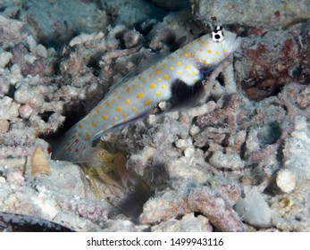 Spotted prawn-goby in Bohol sea Philippines