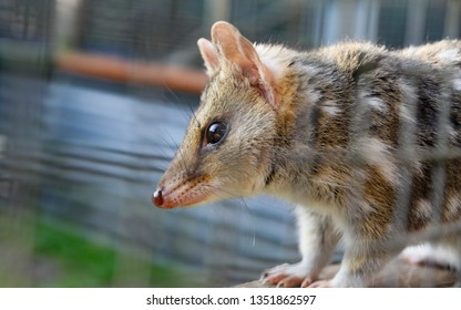 Spotted Quoll in Captivity