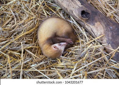 A spotted quoll is sleeping