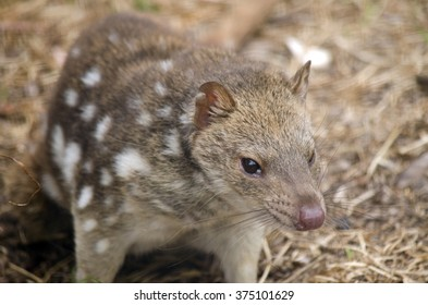 the spotted quoll is smelling the air for scent