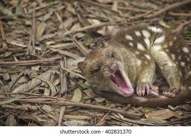 the spotted quoll is snarling with teeth bared