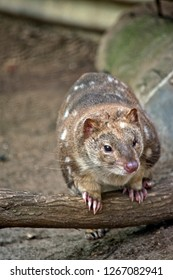the spotted quoll is standing on a log he looks like a cat