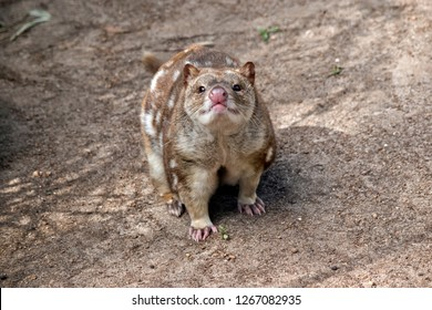 the spotted quoll is walking along the ground sniffing the air