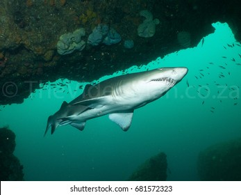 Spotted Ragged Tooth Shark - Carcharias taurus underwater at Aliwal Shoal South Africa