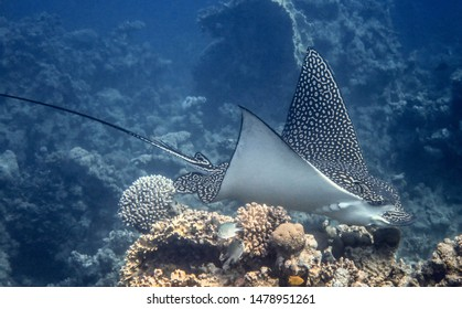 spotted ray in Egypt red sea