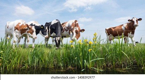 spotted red and black cows stand in green grassy meadow near canal with yellow flag flowers under blue sky in the netherlands