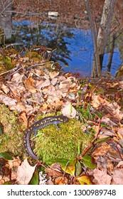 Spotted Salamander (Ambystoma maculatum) by a woodland pond in Ontonagon County Michigan