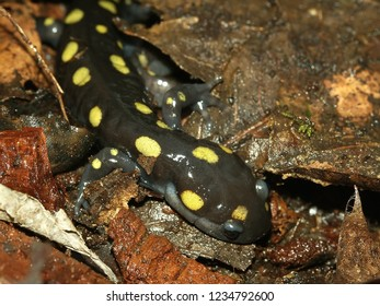 Spotted Salamander (Ambystoma maculatum) in the Midwestern United States
