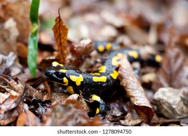 Spotted Salamander on ground, closeup