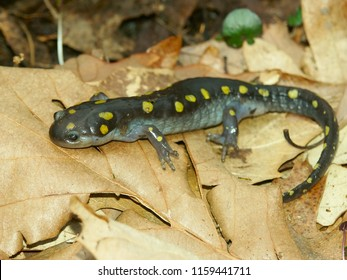 Spotted Salamanders (Ambystoma maculatum) inhabit wooded pools in Illinois