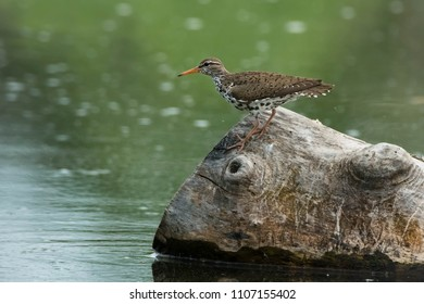 Spotted Sandpiper perched on a petrified log. Rouge National Urban Park, Toronto, Ontario, Canada.