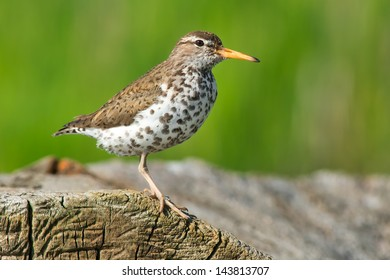 Spotted Sandpiper standing on a log.