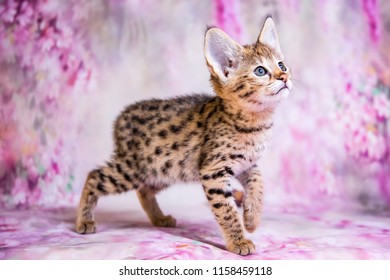 Savannah Cat Images, Stock Photos & Vectors | Shutterstock