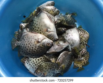 The spotted scat fish, Scatophagus argus