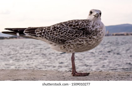 Spotted Seagull standing on the wall