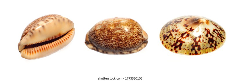 Spotted seashells on white background