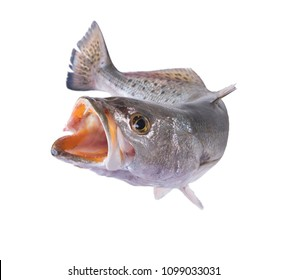Spotted Seatrout (Cynoscion nebulosus) with an open mouth in a jump.  Isolated on white background