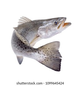 Spotted Seatrout (Cynoscion nebulosus) with an open mouth, Escaping fish. Isolated on white background