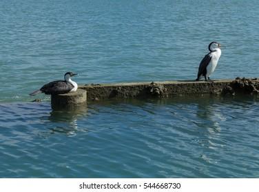 Spotted Shag or Parekareka Birds at Bayswater Marina Fishing Spot Auckland