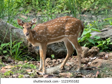 spotted or sika deer in the jungle. Wildlife and animal photo. Japanese or dappled deer