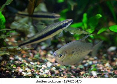Spotted Silver Dollar fish in freshwater tropical densely planted aquarium (blurred Flying Fox fish in a background)