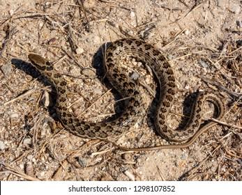 Spotted Skaapsteker (Psammophylax rhombeatus) snake / reptile
