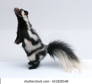 Spotted Skunk Standing on Back Legs