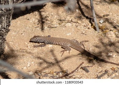 Spotted Sonoran whiptail lizard in natural desert habitat in Pima county, outside of Tucson, Arizona, in the North American deserts of the Southwest. Summer 2018.