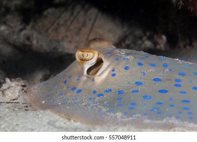 Spotted stingray close-up. Sipadan island. Celebes sea. Malaysia.