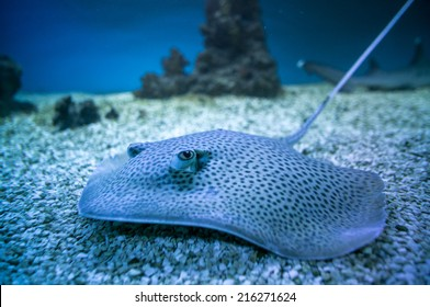 spotted stingray fish in aquarium