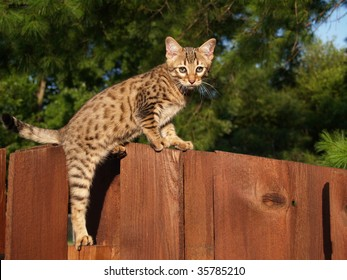 A spotted and striped gold colored male Serval Savannah kitten climbing on a wooden fence.