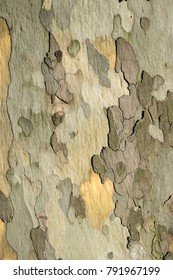 spotted sycamore tree bark pattern by sunny day