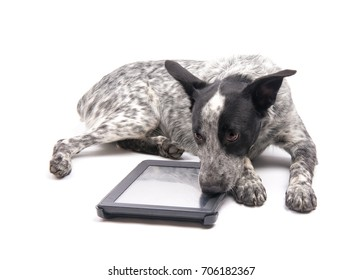 Spotted Texas Heeler dog lying down next to a computer tablet, with a sad look on her face, on white
