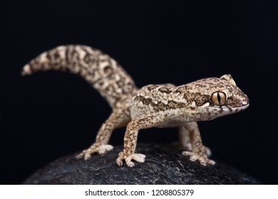 Spotted Thick-toed Gecko (Pachydactylus maculatus)