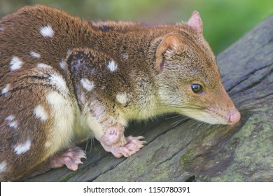 Spotted or Tiger Quoll