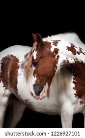 spotted tinker horse portrait on black background
