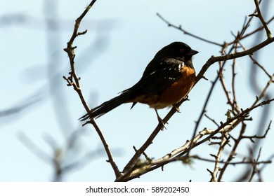 Spotted Towhee Bird