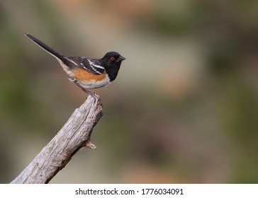 A spotted towhee perches on a stump in Wyoming