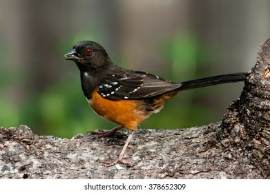 Spotted Towhee (Pipilo maculatus).Willamette Valley, Oregon.