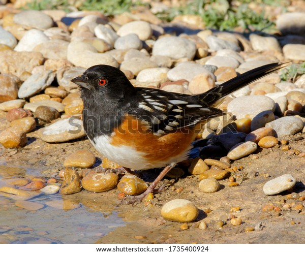 Spotted Towhee at water's edge in South Texas