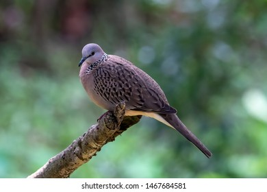 Spotted turtle dove (Streptopelia hinensis) resting on a tree branch. Columbidae family.