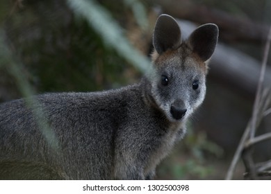 Spotted a Wallaby