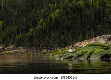 A spotted white seal lying at the edge of a fjord in northern Quebec in Canada in front of a forest. Saint Jean Cove The Saguenay Fjord Quebec